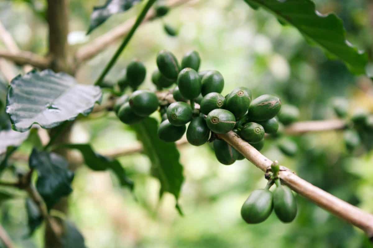 Ekstrakt z zielonej kawy 1